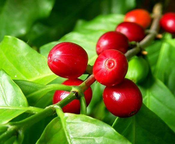 coffee-arabica-cherries